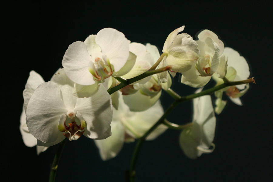 White Orchid by Crazyartstalker