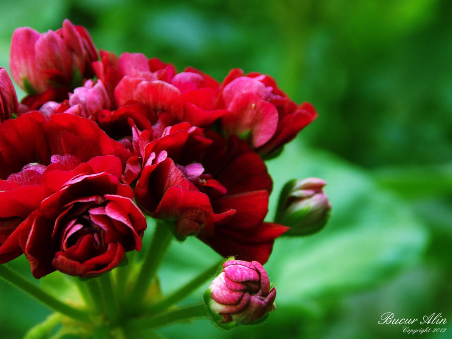 Red Beauty Flower by Nyllah on DeviantArt