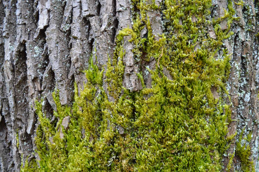 Maple Bark and Moss