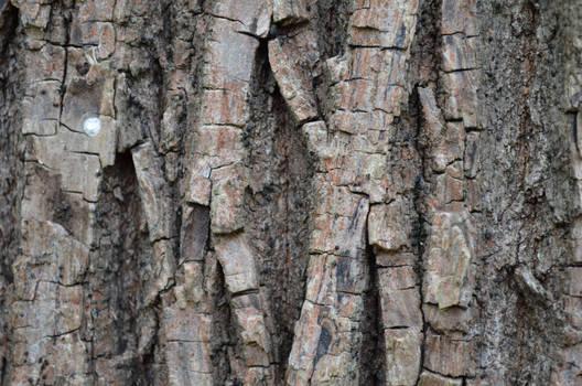 Maple Bark I