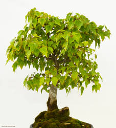Bonsai Tree Stock 001