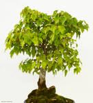Bonsai Tree Stock 001