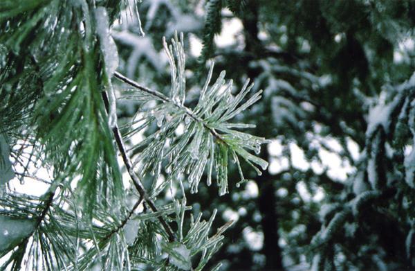 Ice Pine by Syagria