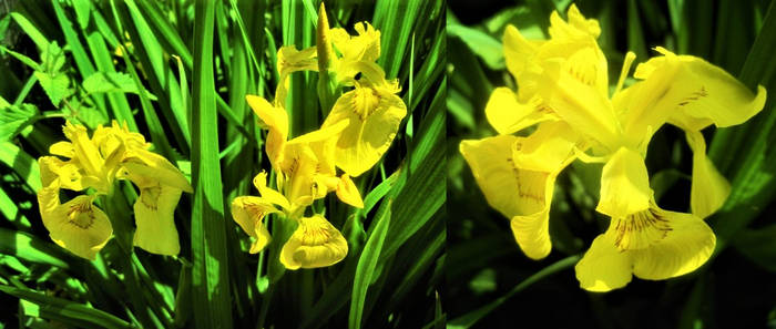 Gelbe Sumpfschwertlilie
