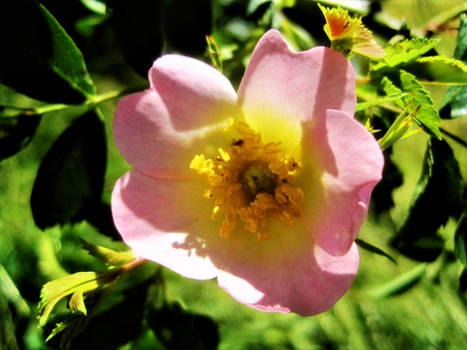 First of the wild Roses