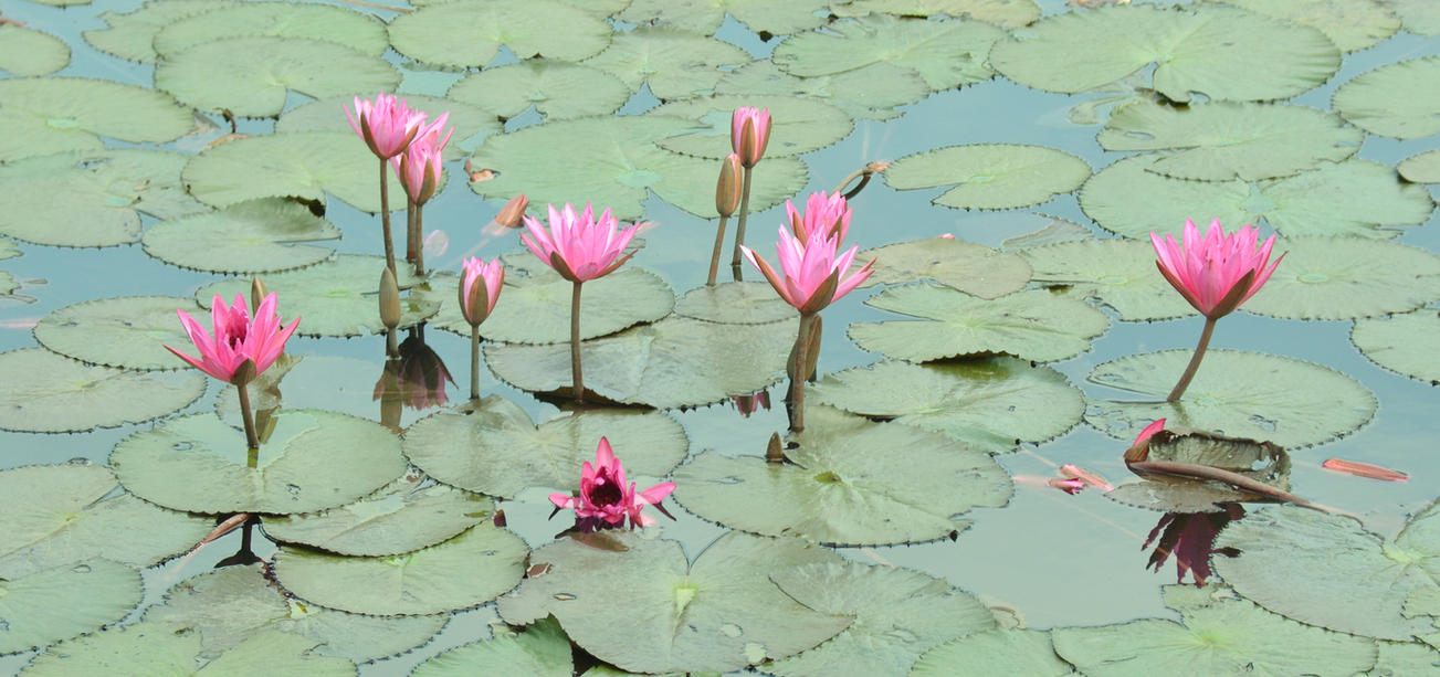 Lotus flower pond in philippines by sica chan12 on deviantart lotus flower pond in philippines by sica chan12 izmirmasajfo