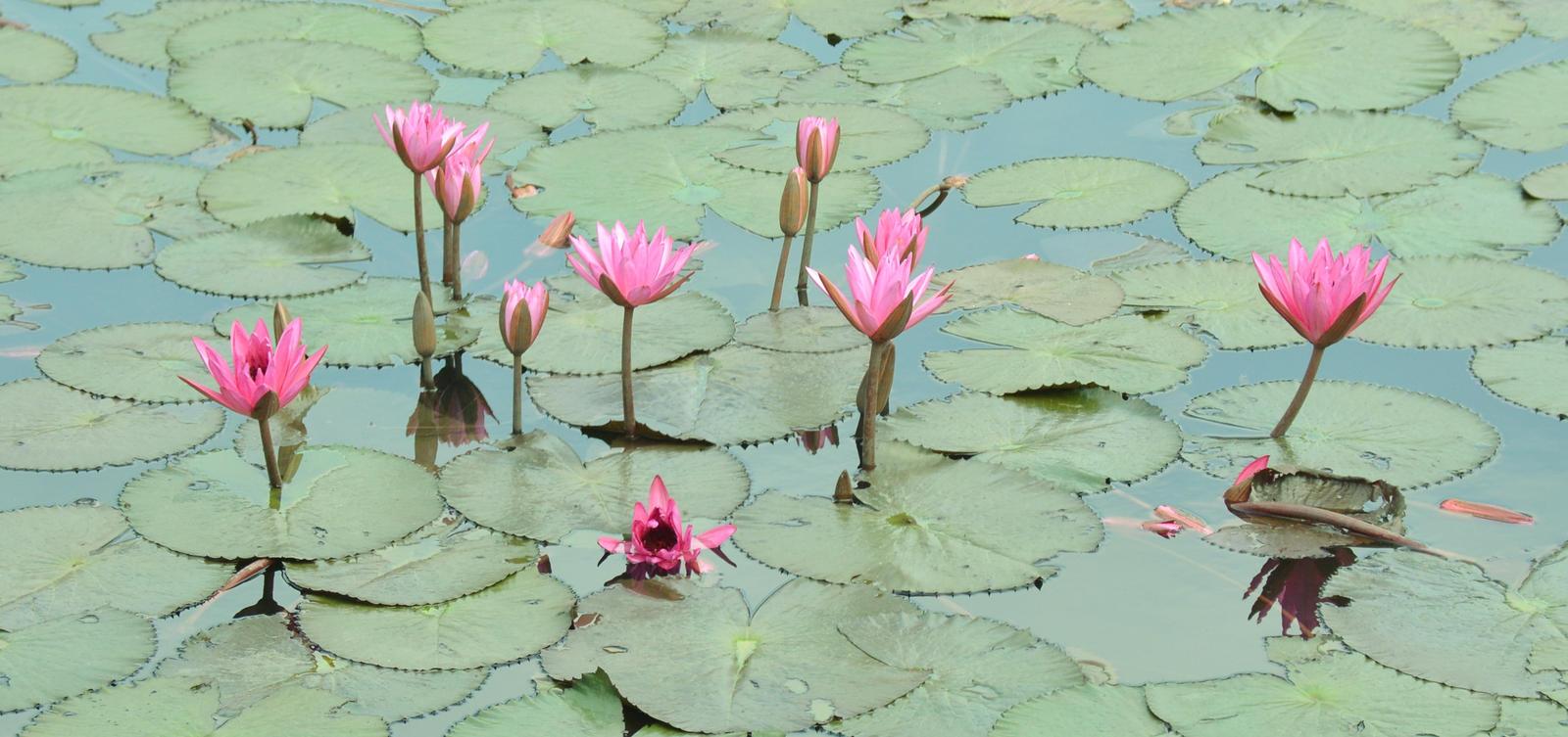 Lotus Flower Pond In Philippines By Sica Chan12 On Deviantart