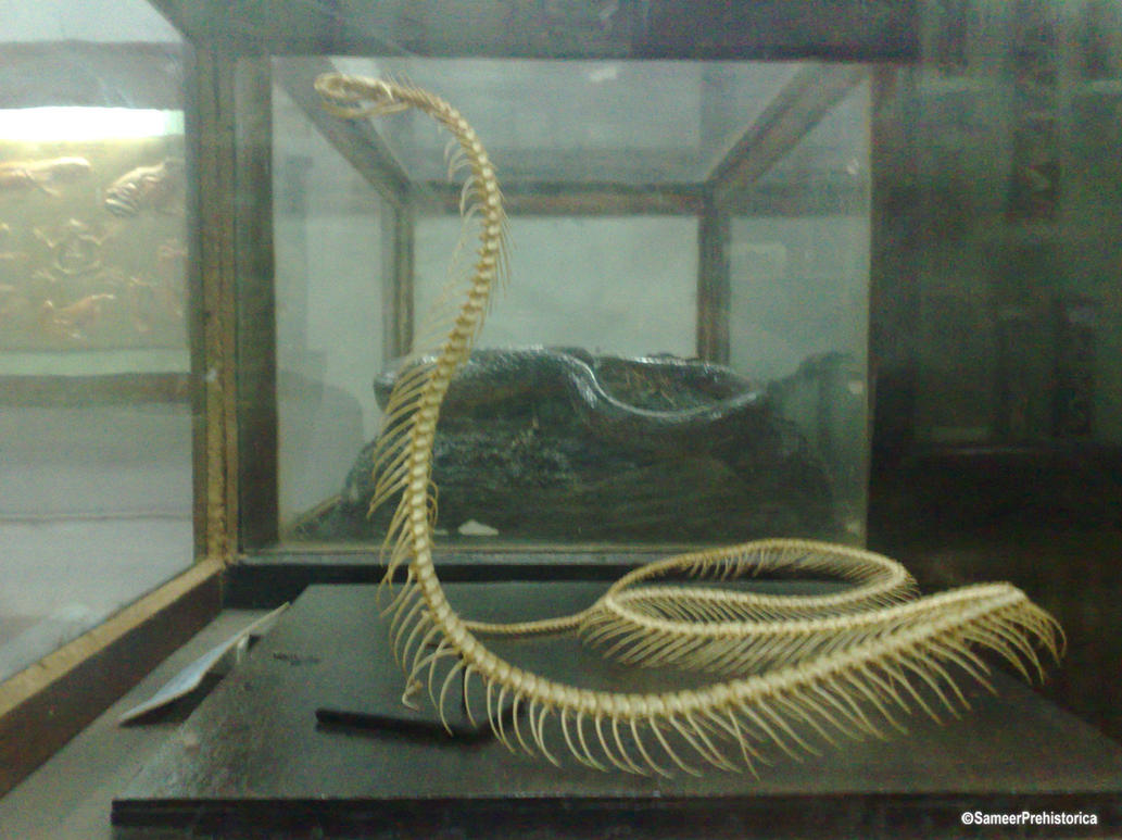 the gallery for gt titanoboa skeleton in museum