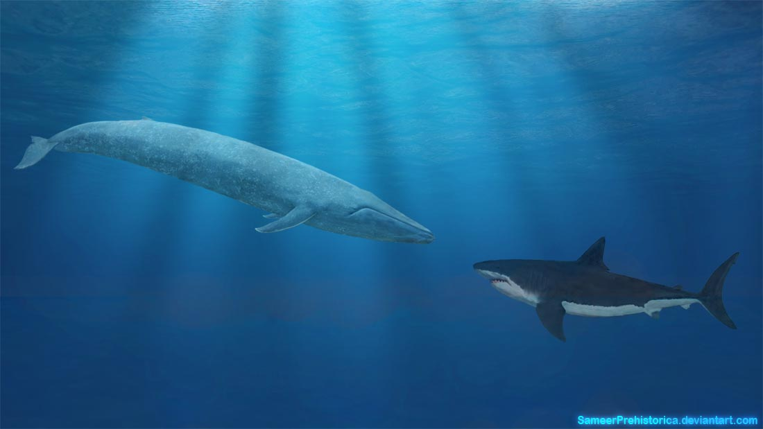 Blue Whale vs Megalodon by SameerPrehistorica on DeviantArt