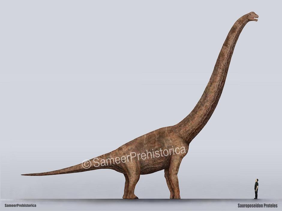 Sauroposeidon Size