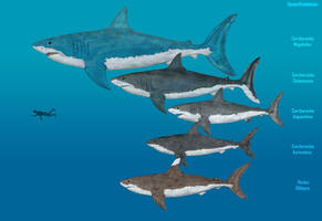 Evolution of Megalodon by SameerPrehistorica