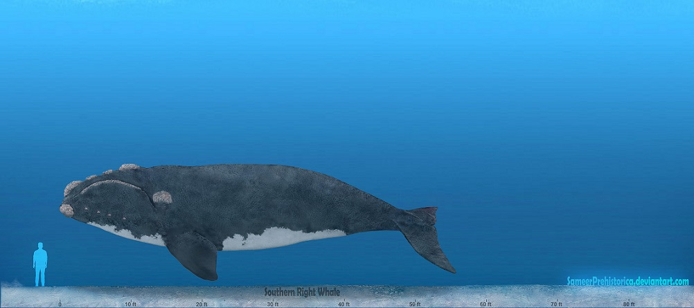Southern Right Whale by SameerPrehistorica on DeviantArt