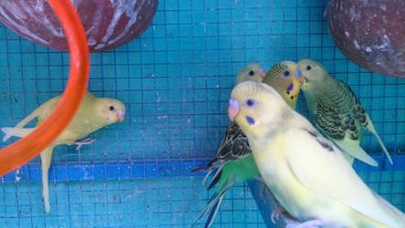 Are parakeets cannibals ? by SameerPrehistorica