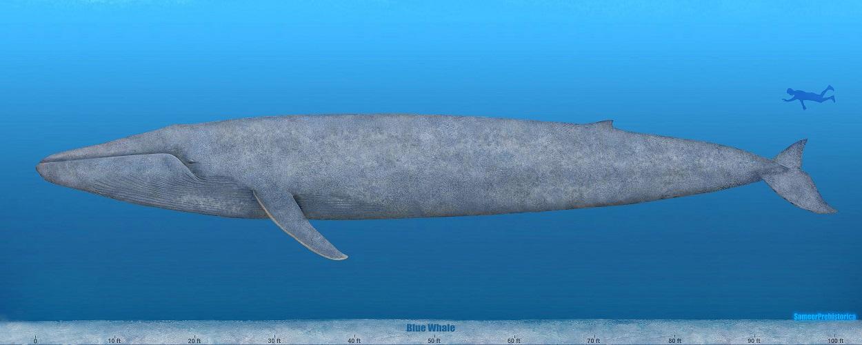 blue whale size - 1250×500