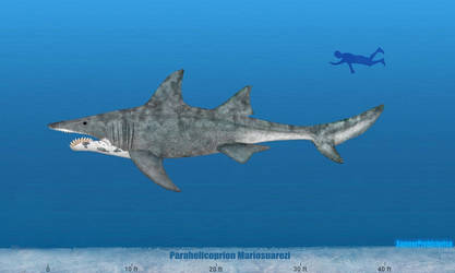 Parahelicoprion Size by SameerPrehistorica