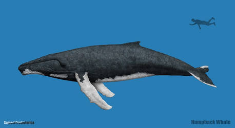 Humpback Whale Size