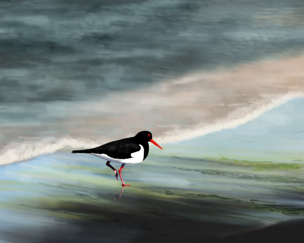 Pied Oystercatcher at the beach. by Thystyn