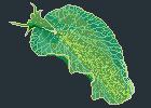 A Sea Slug - Elysia chlorotica by Thystyn