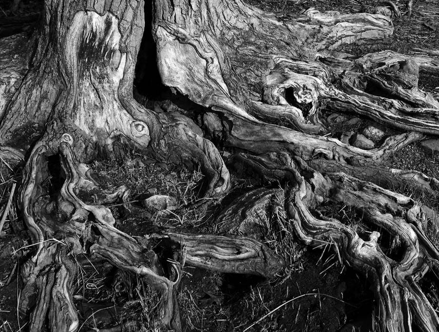 tree roots 5 by MoonShadow-DarkRaven