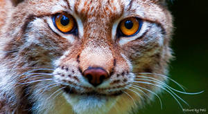 Lynx by PictureByPali