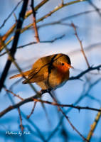 Red Robin2 by PictureByPali