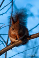 Red Squirrel4 by PictureByPali