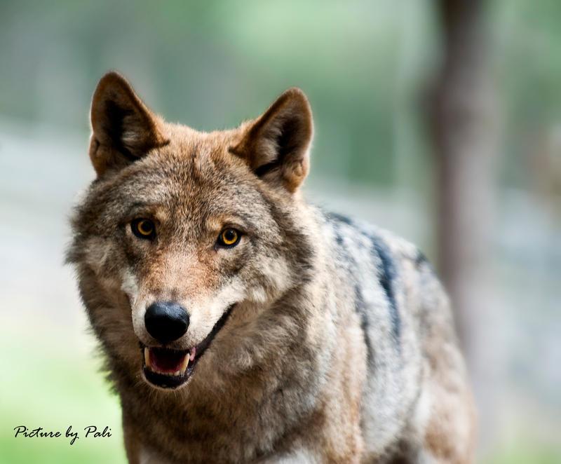 http://fc09.deviantart.net/fs70/i/2010/027/2/f/The_Happy_Wolf_by_PictureByPali.jpg