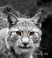 Golden Eyes by PictureByPali