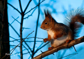 Red Squirrel5 by PictureByPali
