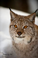 Determine Gaze by a Lynx by PictureByPali
