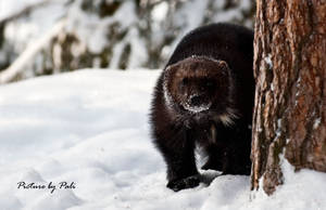 Nosy wolverine by PictureByPali
