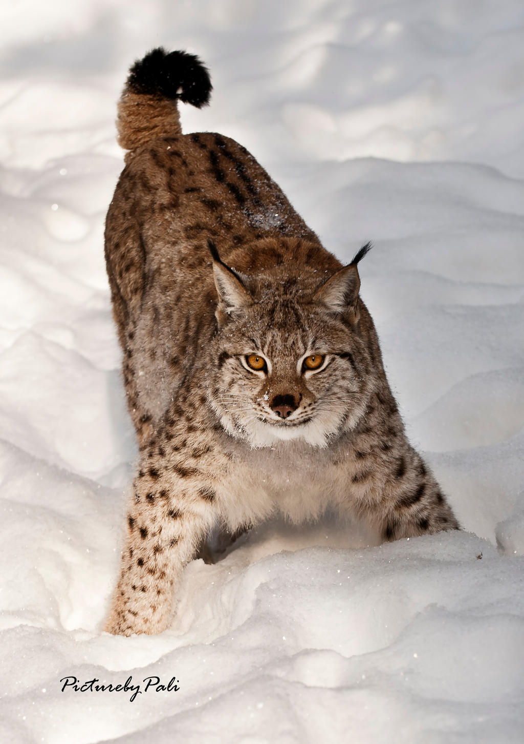 Aggressive  pose of a Lynx by PictureByPali