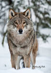 The Gaze of a Wolf