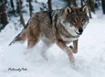Attacking Wolf by PictureByPali