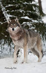 New Generation Grey Wolves