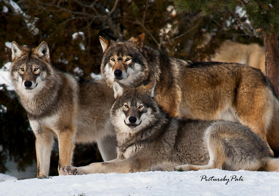 The Relaxed Wolves by PictureByPali