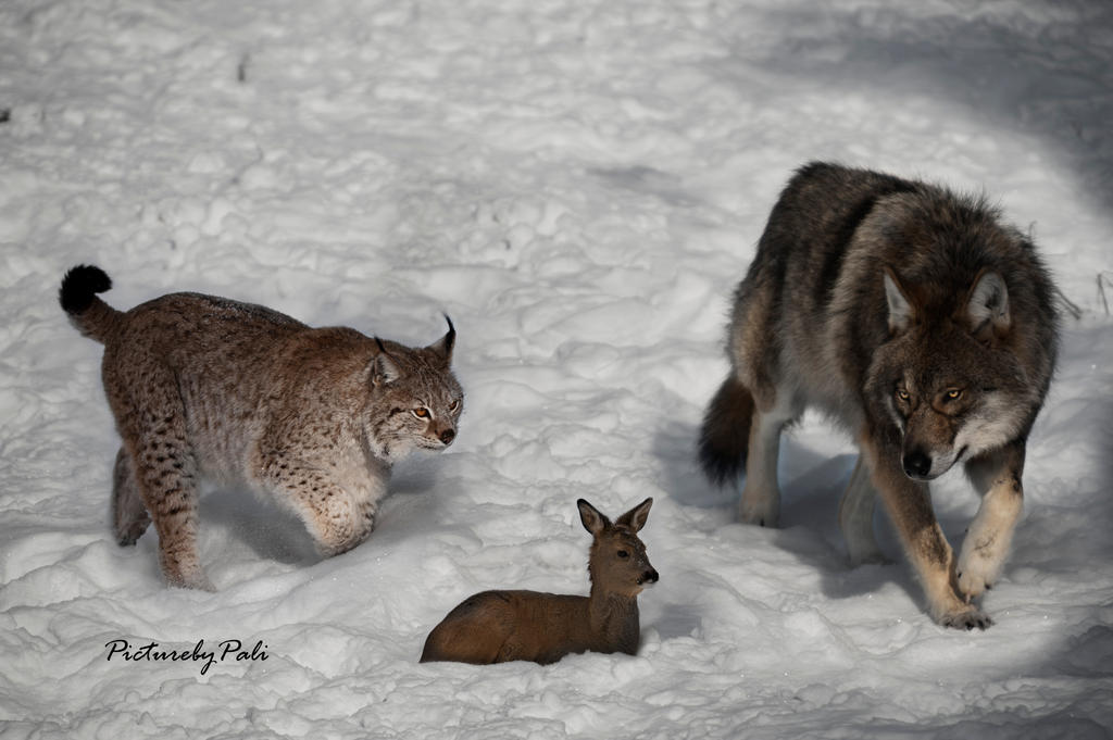 Lynx Vs Wolf Whats for dinner by PictureByPali