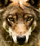 The Grey Wolf Canis Lupus I