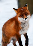The Red Fox_3
