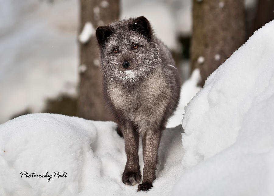 Pose of An Arctic Fox by PictureByPali