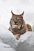 Europe's largest feline LYNX by PictureByPali