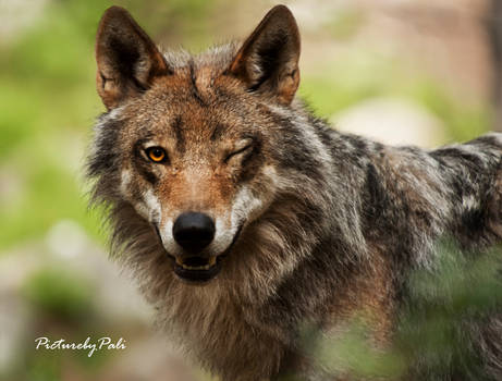The flirting Wolf