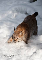 The lurking Lynx by PictureByPali