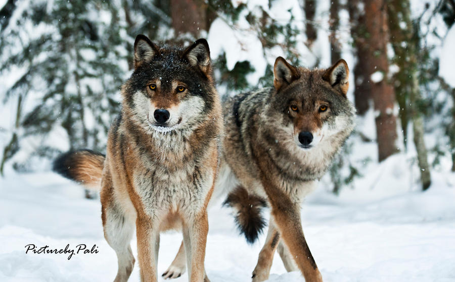 The Grey Wolves by PictureByPali