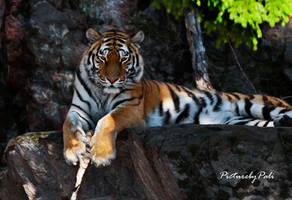 The Siberian Tiger by PictureByPali
