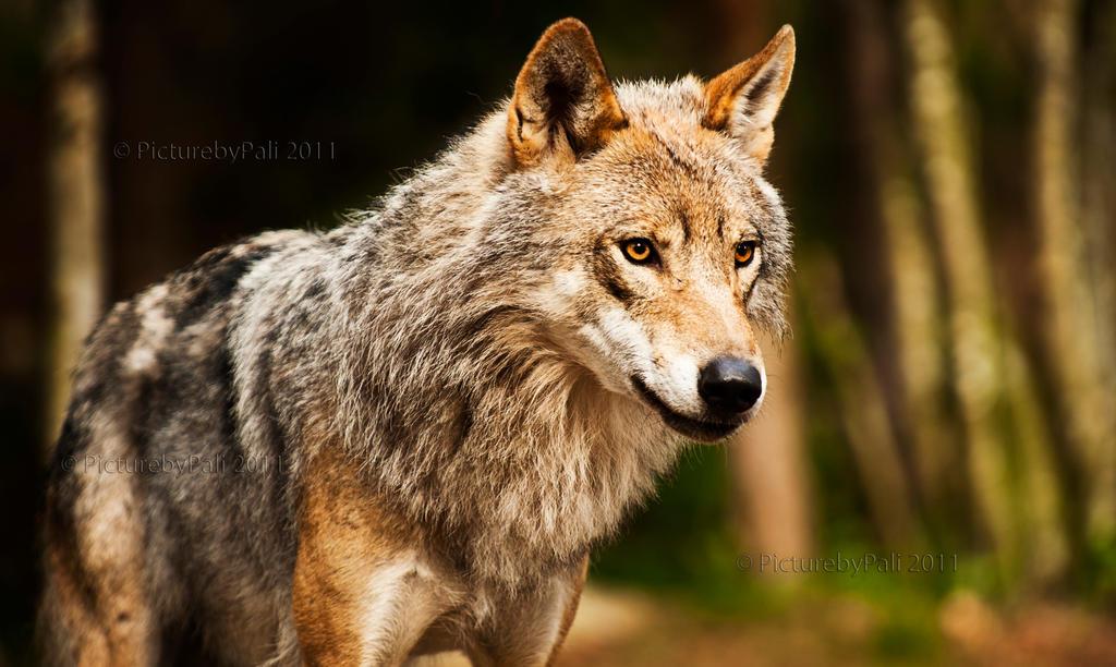 http://fc06.deviantart.net/fs71/i/2011/178/e/b/the_majestic_grey_wolf_by_picturebypali-d3k5dxp.jpg