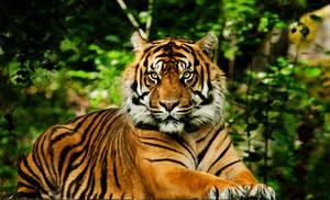 The Sumatran Tiger II