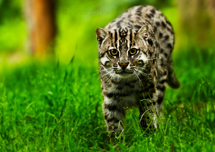 The fishing cat ii by picturebypali on deviantart for The fishing cat