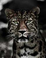 The Amur Leopard II