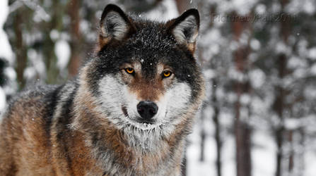 The Majestic Wolf